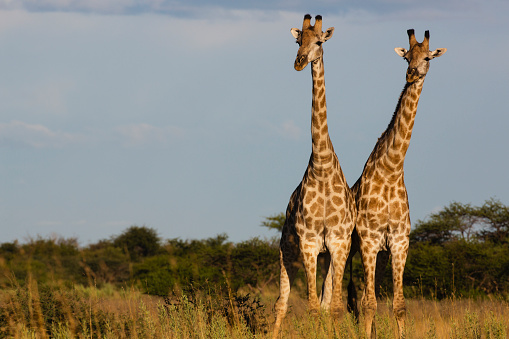 Giraffe「Southern giraffe standing closely together looking out in same direction」:スマホ壁紙(19)