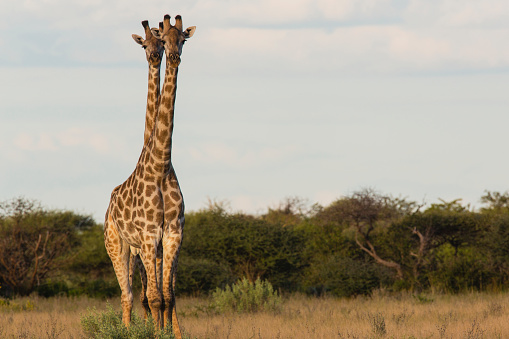 Giraffe「Southern giraffe standing closely together looking out in same direction」:スマホ壁紙(12)