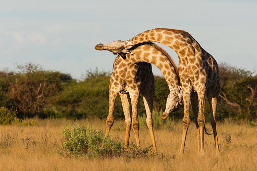 Giraffe「Southern giraffe standing closely together looking and leaning out in same direction」:スマホ壁紙(18)