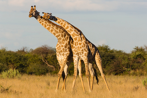 Giraffe「Southern giraffe standing closely together looking and leaning out in same direction」:スマホ壁紙(0)
