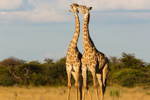 Giraffe「Southern giraffe standing closely together and crossing necks during play」:スマホ壁紙(1)