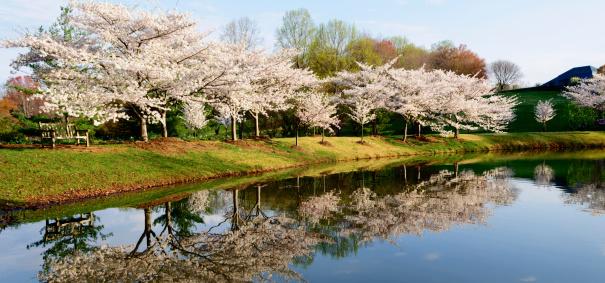 Oriental Cherry Tree「XXXL :公園のベンチの池を一望」:スマホ壁紙(14)