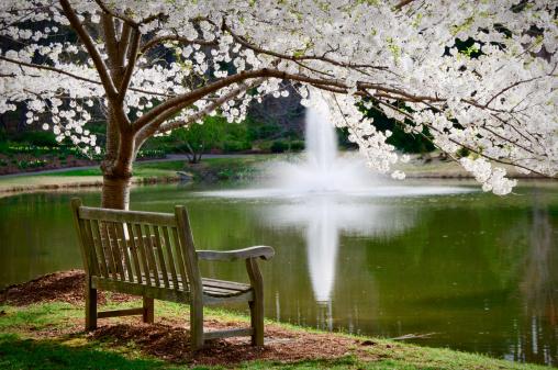 Oriental Cherry Tree「公園のベンチで静かな雰囲気」:スマホ壁紙(8)
