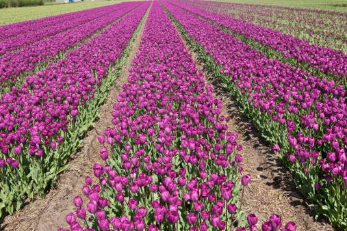 Keukenhof Gardens「neat rows of purple tulips」:スマホ壁紙(4)