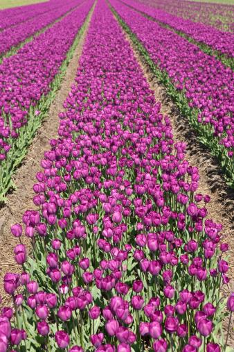 Keukenhof Gardens「neat rows of purple tulips in a field」:スマホ壁紙(5)