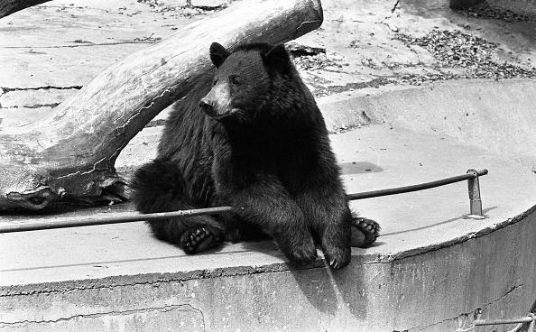 Brown Bear「Dublin Zoo 1994」:写真・画像(18)[壁紙.com]