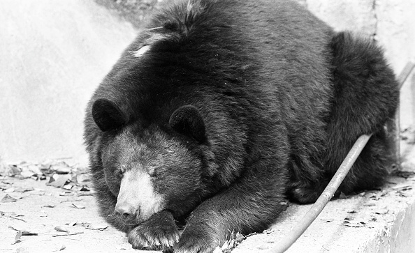 Brown Bear「Dublin Zoo 1994」:写真・画像(17)[壁紙.com]