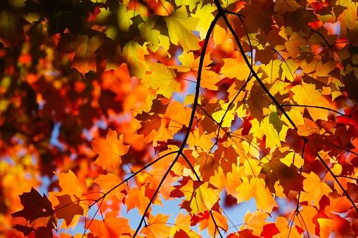 かえでの葉「Maple, autumn leaves」:スマホ壁紙(9)
