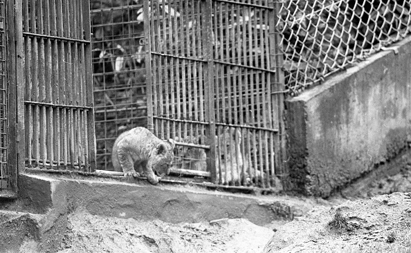 Lion Cub「Lion's at Dublin Zoo 1988」:写真・画像(13)[壁紙.com]
