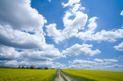 アブラナ「Dirt road dividing oilseed rape field」:スマホ壁紙(0)