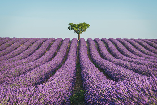 Side By Side「France, Alpes-de-Haute-Provence, Lavender field near Valensole」:スマホ壁紙(11)