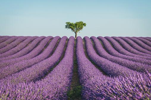 花畑「France, Alpes-de-Haute-Provence, Lavender field near Valensole」:スマホ壁紙(6)