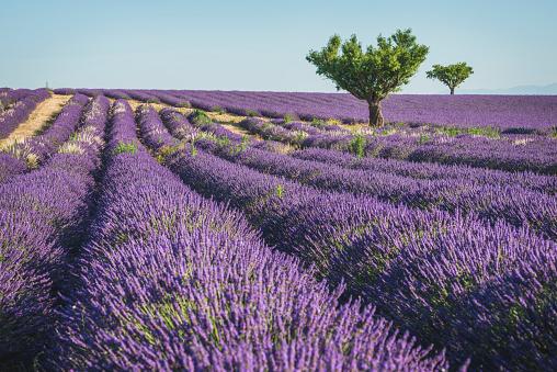 France「France, Alpes-de-Haute-Provence, Lavender field near Valensole」:スマホ壁紙(2)