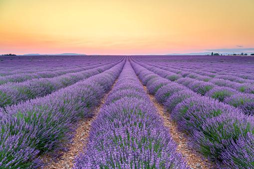 Alpes-de-Haute-Provence「France, Alpes-de-Haute-Provence, Valensole, lavender field at twilight」:スマホ壁紙(6)