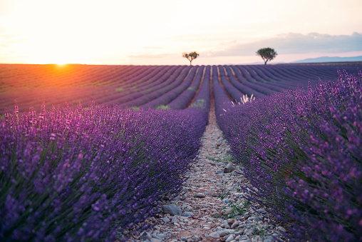 Alpes-de-Haute-Provence「France, Alpes-de-Haute-Provence, Valensole, lavender field at sunset」:スマホ壁紙(2)