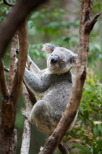 Koala「a koala bear (phascolarctos cinereus) in a tree」:スマホ壁紙(17)