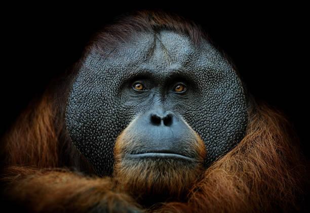 orangutan portrait:スマホ壁紙(壁紙.com)