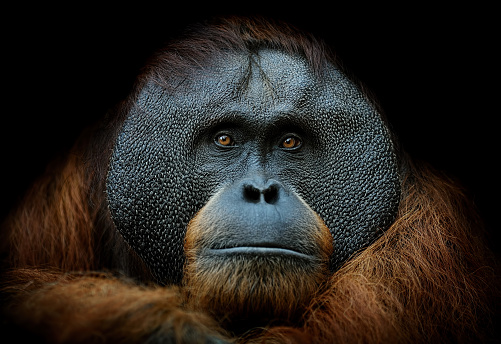 Animals In The Wild「orangutan portrait」:スマホ壁紙(19)