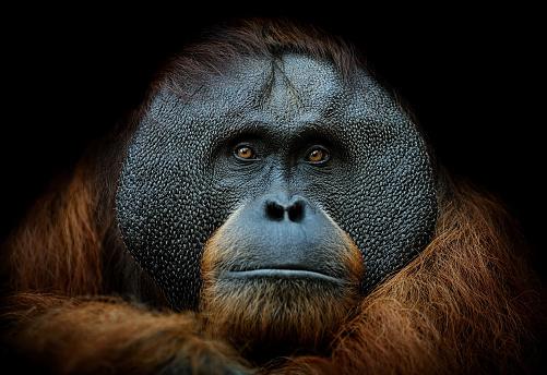 Animal Eye「orangutan portrait」:スマホ壁紙(6)