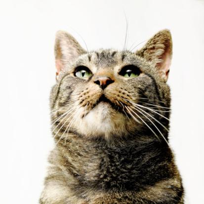 Animal Whisker「Close portrait of tabby cat」:スマホ壁紙(7)