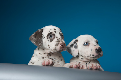 Puppy「Two dalmatian puppies peering over ledge」:スマホ壁紙(15)