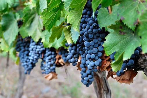 Grape「Argentina, Mendoza Province, Maipu, grape variety Malbec vine」:スマホ壁紙(15)