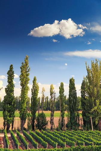 Grape「Argentina, Mendoza, Wineries」:スマホ壁紙(6)