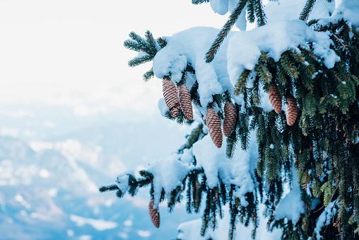European Alps「Germany, Berchtesgadener Land, Berchtesgaden National Park, snow-covered fir with cones, partial view」:スマホ壁紙(18)