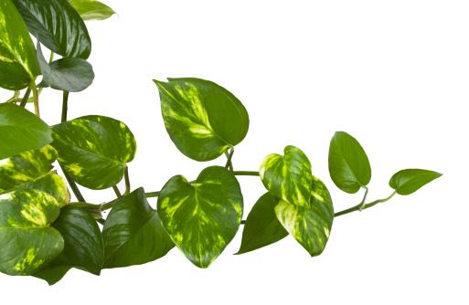 Floral Pattern「ivy plant,」:スマホ壁紙(16)
