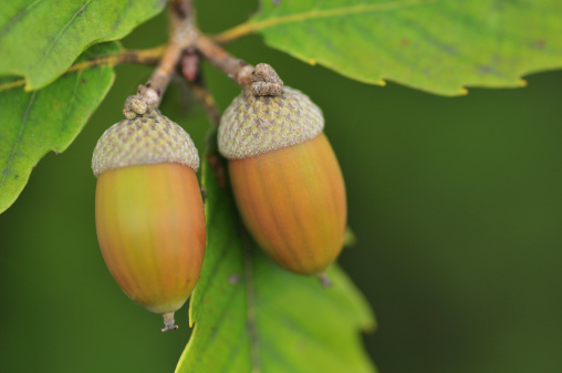 どんぐり セレクティブフォーカス「Acorns on Konara oak (Quercus serrata Thunb.), Chiba Prefecture, Honshu, Japan」:スマホ壁紙(13)