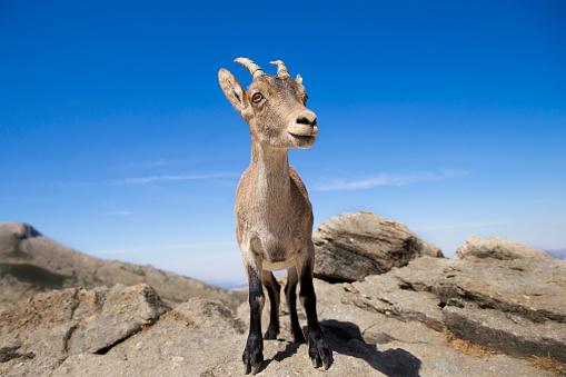 Goat「Spain, Sierra de Gredos, Western Spanish ibex on a rock」:スマホ壁紙(9)