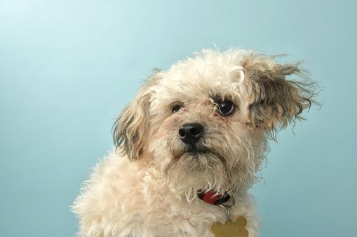 Amanda Foundation「Rescue Animal - Poodle mix puppy」:スマホ壁紙(19)