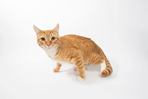 Animal Whisker「Rescue Animal - portrait of Domestic Shorthair cat」:スマホ壁紙(16)
