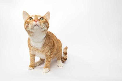 Animal Whisker「Rescue Animal - portrait of Domestic Shorthair cat」:スマホ壁紙(6)