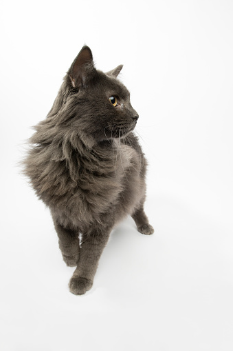 Animal Whisker「Rescue Animal - portrait of Domestic Longhair cat」:スマホ壁紙(1)