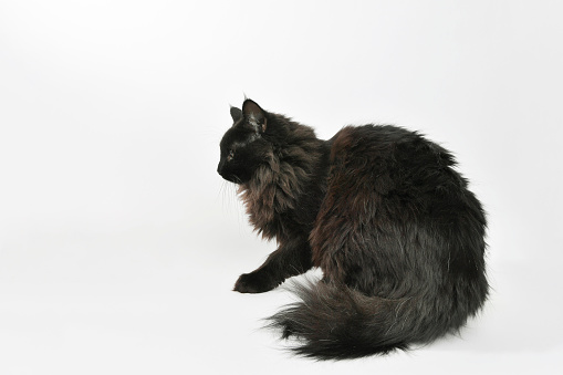 Animal Hair「Rescue Animal - portrait of Domestic Longhair cat」:スマホ壁紙(0)