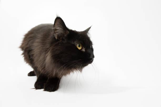 Rescue Animal - portrait of Domestic Longhair cat:スマホ壁紙(壁紙.com)