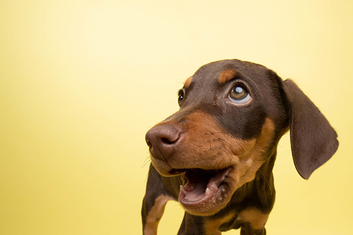 Non-Profit Organization「Rescue Animal - cute chocolate and tan Doberman puppy」:スマホ壁紙(14)