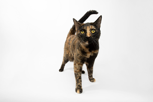 Animal Whisker「Rescue Animal - portrait of Tortoiseshell Domestic Shorthair cat」:スマホ壁紙(12)