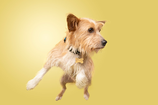 Animal Hair「Rescue Animal - Cairn Terrier/Corgi mix」:スマホ壁紙(18)