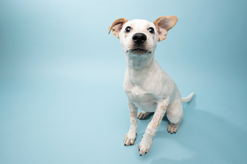 Animal Shelter「Rescue Animal - Cattle Dog mix puppy」:スマホ壁紙(11)