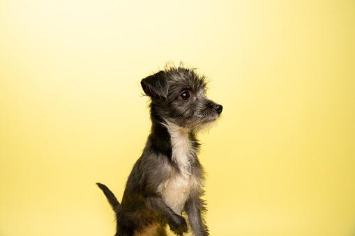 Schnauzer「Rescue Animal - Terrier/Schnauzer mix puppy」:スマホ壁紙(7)