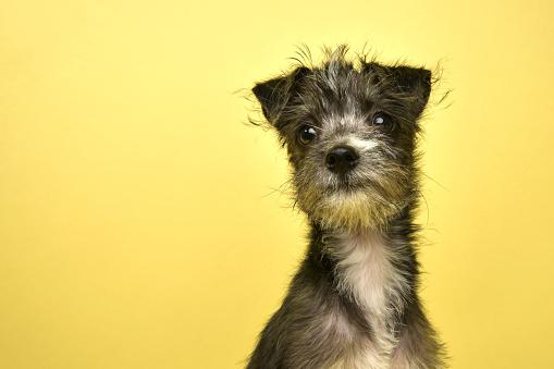 Schnauzer「Rescue Animal - Terrier/Schnauzer mix puppy」:スマホ壁紙(8)