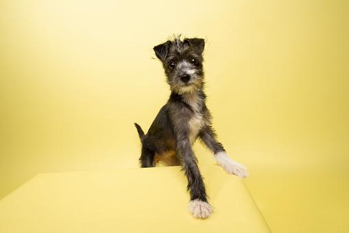 Schnauzer「Rescue Animal - Terrier/Schnauzer mix puppy」:スマホ壁紙(15)