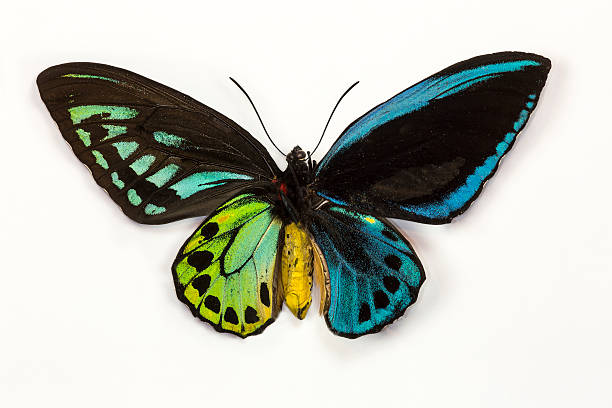 Bird wing butterfly displaying top and bottom wing:スマホ壁紙(壁紙.com)