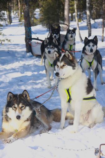 Sled「winter group of husky sleigh dogs」:スマホ壁紙(14)
