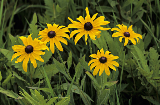 Hirta「BLACK-EYED SUSANS. NATIVE PRAIRIE PLANT. Rudbeckia hirta. Native prairie biennial, showy golden-yellow ray flowers, with disk flowers forming a brown central cone. Found in Fields, prairies, roadsides and open woods.」:スマホ壁紙(5)