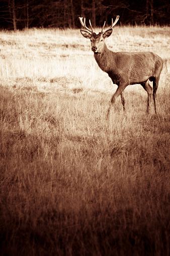 Sepia Toned「Young deer」:スマホ壁紙(16)