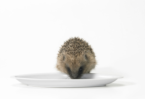 Hedgehog「Hedgehog Feeding Off of a Plate Against a White Background」:スマホ壁紙(7)