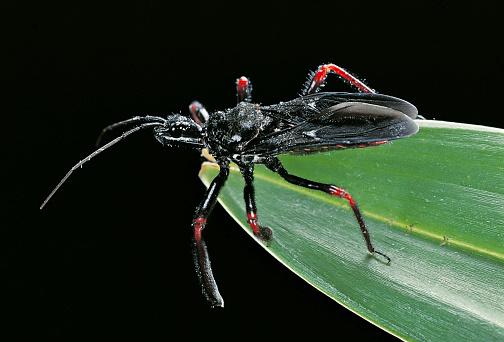 Parasitic「Apiomerus geniculatus (assassin bug)」:スマホ壁紙(18)